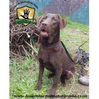 LABRADOR ESPECIALIZADA EN DETECCION